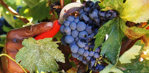 Amador - Grapes